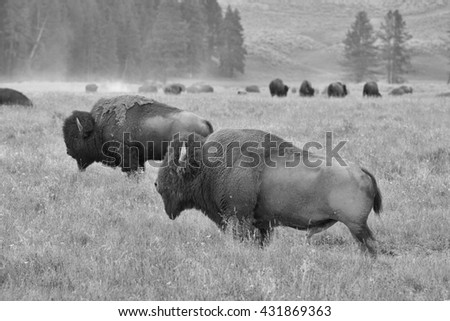 The herd of typical American Bison on the pasture in Grand Teton National Park - Black and White Photo - stock photo