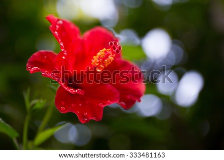 The hibiscus flower close up - stock photo