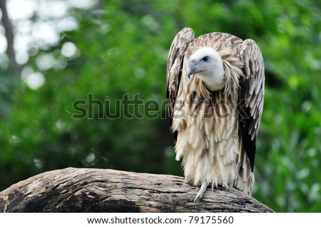 The Himalayan Griffon Vulture is a typical vulture, with a bald white head, very broad wings, and short tail feathers.  It has a white neck ruff and yellow bill. - stock photo