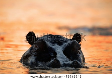 The hippopotamus in the light of the sunset sun sits in a bog. - stock photo