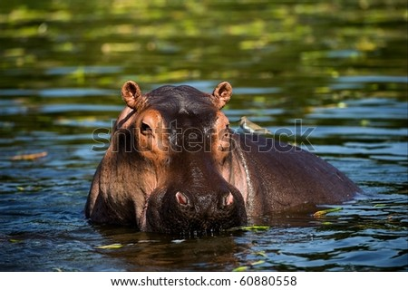 The hippopotamus. On the bright midday sun hippopotamus in water with a birdie on a back.. Africa. - stock photo