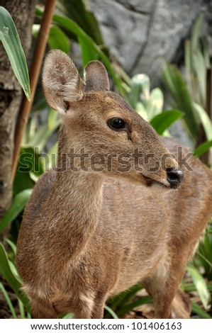The Hog Deer is a small deer whose habitat ranges from Pakistan, through northern India, to mainland southeast Asia. - stock photo