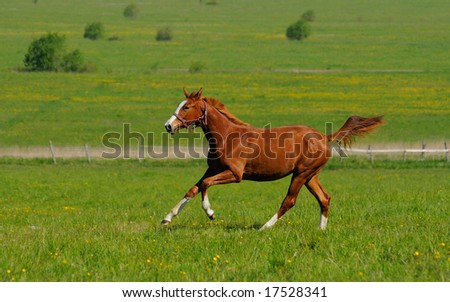 the horse gallops in field - stock photo