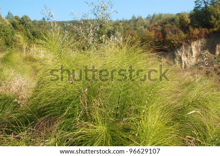 The horsetail, a good medicinal plant. - stock photo