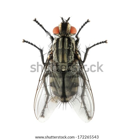 The House Fly ( Musca domestica ) dangerous carrier of pathogens. - stock photo