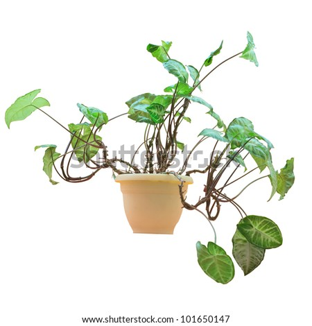 the house plant in a plastic pot is isolated on the white - stock photo