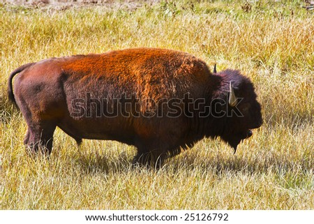 The huge bison-male is grazed in the well-known Yellowstone national park - stock photo