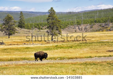 The huge bison-male is grazed in the Yellowstone national park - stock photo
