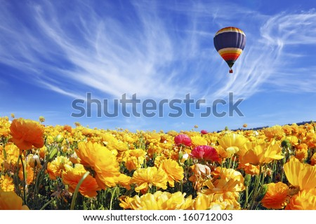 The huge field of white and orange buttercups (Ranunculus asiaticus). Beautiful spring weather, beautiful big balloon flies over the field. The picture was taken Fisheye lens - stock photo