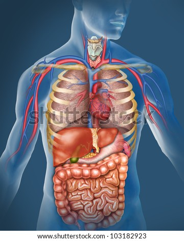 The human body - stock photo