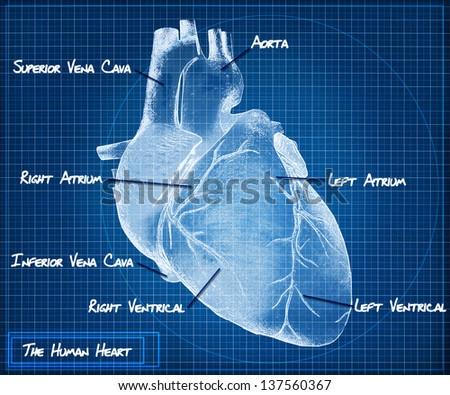 The Human heart blueprint concept. - stock photo
