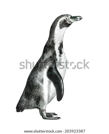 The Humboldt Penguin (Spheniscus humboldti) isolated on a white. - stock photo