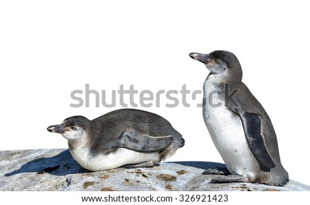 The Humboldt Penguins (Spheniscus humboldti) on white background - stock photo