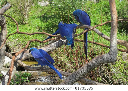 The hyacinth macaw is a beautiful bird, deep cobalt blue in color, with a golden eye ring and bill base. It is found in Brazil and easternmost Bolivia, - stock photo