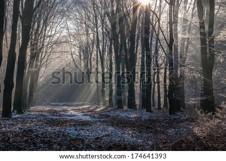 The icy morning-sun breaking through the hoarfrost covered leafs of Dutch National Park the Veluwe. - stock photo
