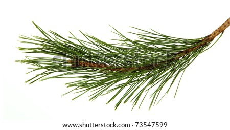 The image of a branch of the pine, isolated, on a white background - stock photo
