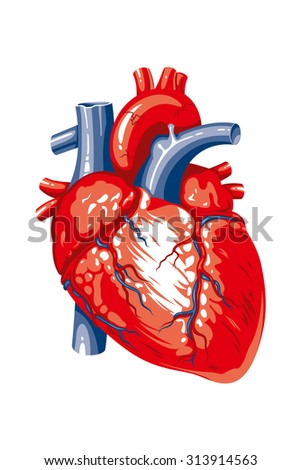 The image of the human heart on a white background - stock photo