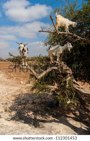 The incredible tree-climbing goats of Morocco - stock photo