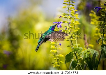 The incredibly beautiful Green Violet Eared Hummingbird in the central mountains of Mexico. This is a rare picture of a medium sized hummingbird that is very elusive and shy and is one special bird.  - stock photo