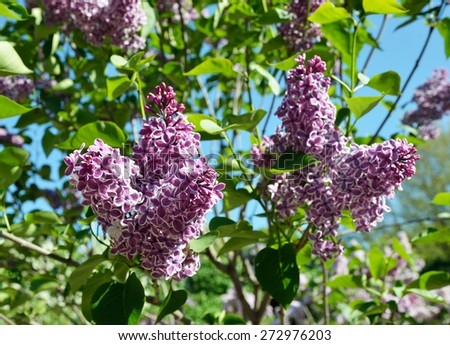 The inflorescences of Syringa are photographed closely at the moment of blooming. - stock photo