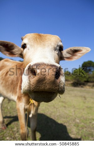 The inquisitive cow - stock photo