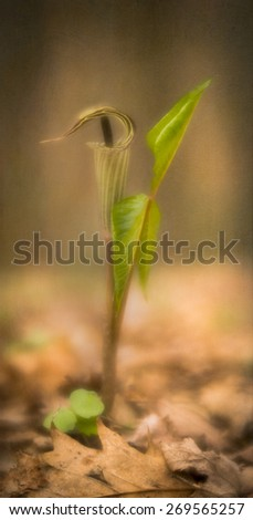 The Jack in the Pulpit (Arisaema triphyllum) also known as Indian turnip is a North American wildflower. This velvety, ethereal image has an added texture in post processing creating an artistic feel. - stock photo