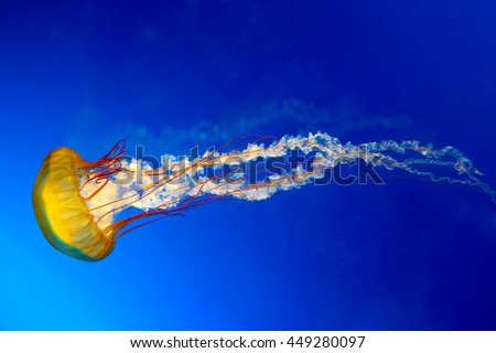The Japanese Sea Nettle, or Chrysaora pacifica Jellyfish. - stock photo