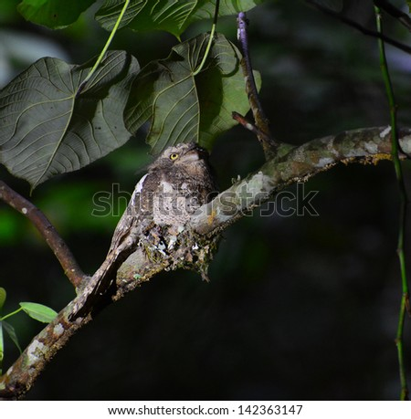 The Javan Frogmouth (Batrachostomus javensis) is a species of bird in the Podargidae family. - stock photo