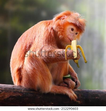The Javan lutung or Javan langur (Trachypithecus auratus) eating ripe banana. - stock photo