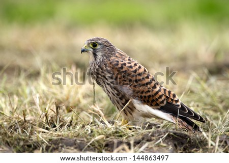 The juvenile kestrel (Falco tinnunculus) profile after the last meal in Uppland, Sweden - stock photo