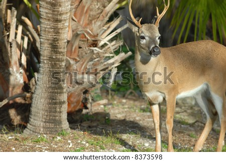 The key deer are a diminutive subspecies of white-tailed deer found only on a few small islands around Florida. - stock photo