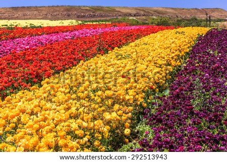 The kibbutz field with blossoming buttercups - ranunculus of different colors. Spring in Israel - stock photo