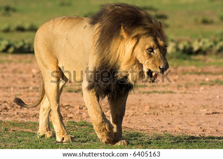 The King of the african wildlife - stock photo