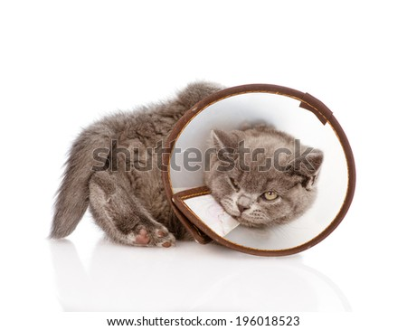the kitten tries to remove a medical collar - stock photo
