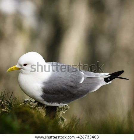 The kittiwakes are two closely related seabird species in the gull family Laridae, the black-legged kittiwake and the red-legged kittiwake. - stock photo