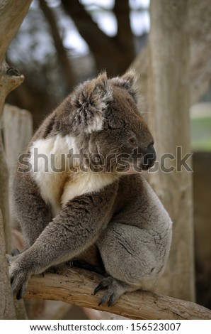 the koala is on a branch of a tree - stock photo