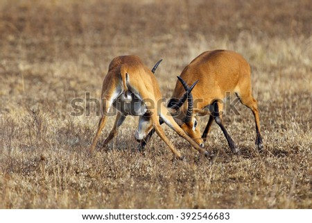 The kob (Kobus kob), two adult males in a duel during the breeding season - stock photo