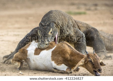 The Komodo dragon (Varanus komodoensis) attacks the prey. It is the biggest living lizard in the world. Island Rinca. Indonesia. - stock photo