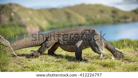 The Komodo dragon ( Varanus komodoensis ) swith the flicked out tongue. It is the biggest living lizard in the world. Island Rinca. Indonesia. - stock photo