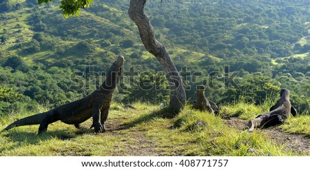 The Komodo Dragons on island Rinca.The Komodo dragon, Varanus komodoensis, is the biggest living lizard in the world, Indonesia. - stock photo