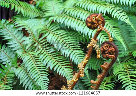 The Koru is the Maori word for the spiral shape of a new unfurling giant silver fern frond in December. It is the  symbol for New Zealand tourism, the All Blacks  and is often used on Christmas cards. - stock photo