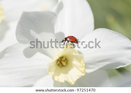 The ladybird on a narcissus. - stock photo