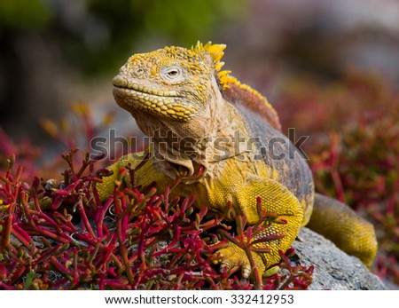 The land iguana on the stone. Close-up portrait. Galapagos Islands. An excellent illustration. - stock photo