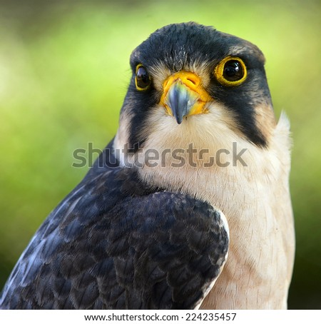 The lanner falcon (Falco biarmicus). Close up  Portrait of Lanner falcon (Falco biarmicus)  - stock photo