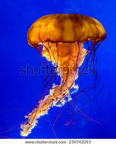 The Large Dangerous, but Beautiful, Orange Pacific Sea Nettle Jellyfish. - stock photo