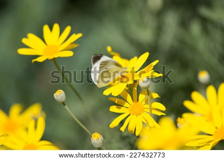 The Large White (Pieris brassicae) also called Cabbage Butterfly, Cabbage White, or in India the Large Cabbage White - stock photo