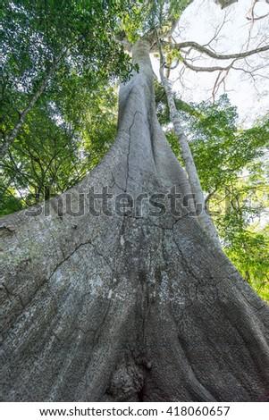 The largest tree in the Amazon rainforest, the Ceiba pentandra. - stock photo