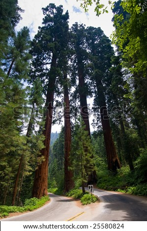 The largest trees in the world, Sequoia National Park, near Fresno California - stock photo