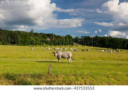 The leader of herd cows on a summer pasture in twilight - stock photo