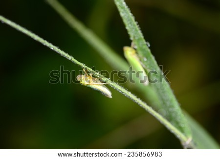 The leaf cicada in branches, grass close-up   - stock photo